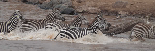 Zebra Crossing the Mara River